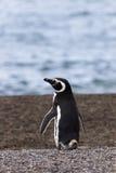 Pingüino en la playa Fotos de archivo