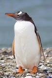 Pingüino en la playa de la tabla Fotos de archivo