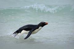 Pingüino en las ondas azules El pingüino de Rockhopper, pájaro de agua salta del agua azul mientras que nada a través del océano  Imagenes de archivo