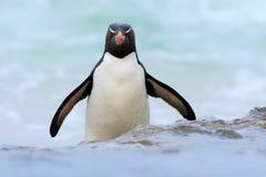 Pingüino en las ondas azules El pingüino de Rockhopper, pájaro de agua salta del agua azul mientras que nada a través del océano  Fotos de archivo