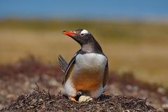 Pingüino en los huevos del ingenio dos de la jerarquía, Falkland Islands de Gentoo Foto de archivo