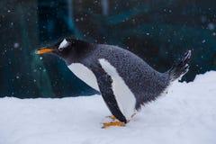 Pingüino en un parque zoológico que se coloca en nieve durante la nieve que cae, h de elevación Fotos de archivo