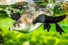 Pingüino en una piscina Imagen de archivo libre de regalías