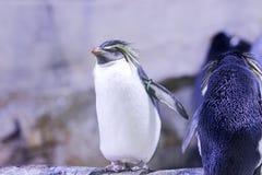 Pingüino en una roca con otros pingüinos Imagenes de archivo