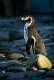 Pingüino entre las piedras en luz del día Imagen de archivo libre de regalías