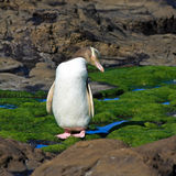 Pingüino Eyed amarillo que mira de lado foto de archivo