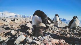 Pingüino femenino del primer con los bebés antártida almacen de metraje de vídeo