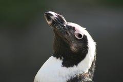 pingüino footed de #2.Black. fotos de archivo