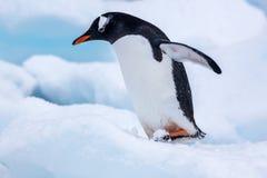 Pingüino hermoso del gentoo que camina en nieve en la Antártida Imagen de archivo