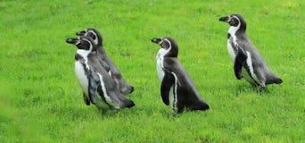 Pingüino Humboldt Imagen de archivo libre de regalías