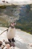 Pingüino (humboldti del Spheniscus) Foto de archivo