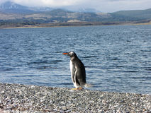 Pingüino - Isla Martillo, Ushuaia Imagenes de archivo