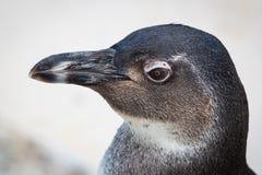 Pingüino joven imágenes de archivo libres de regalías