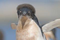 Pingüino joven de Adelie en la isla de Yalour, Ant3artida. Fotografía de archivo