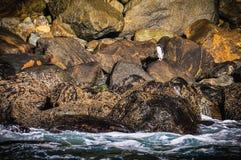 Pingüino lindo en el Milford Sound, Nueva Zelanda Fotografía de archivo