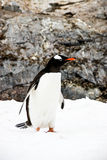 Pingüino o pygoscellis Papua de Gentoo Imagen de archivo