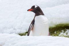 Pingüino orgulloso del gentoo en la nieve en la Antártida foto de archivo