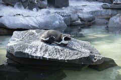 Pingüino perezoso en el parque zoológico fotografía de archivo
