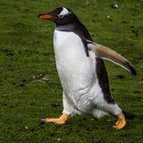Pingüino que camina en hierba verde Fotografía de archivo