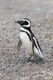 Pingüino que camina solamente Fotos de archivo