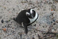Pingüino que mira para arriba Fotos de archivo