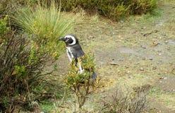 Pingüino que oculta en los arbustos Imagen de archivo libre de regalías