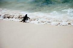 Pingüino que se tira Imagen de archivo libre de regalías