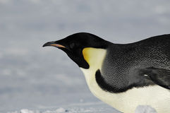 Pingüino que viene cerca Fotografía de archivo libre de regalías
