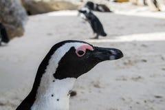 Pingüino salvaje en Ciudad del Cabo imagenes de archivo