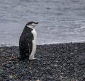 Pingüino solitario de Chinstrap en la Antártida imagen de archivo