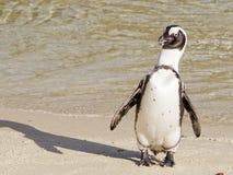 Pingüino solo Imagen de archivo libre de regalías