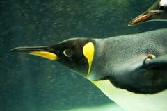 Pingüino subacuático Foto de archivo libre de regalías