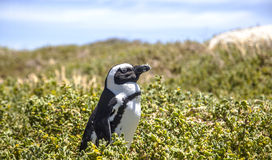 Pingüino surafricano Fotos de archivo