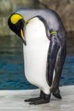 Pingüino triste cansado el dormir Fotografía de archivo