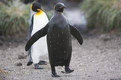 Pingüino y fango de rey Foto de archivo