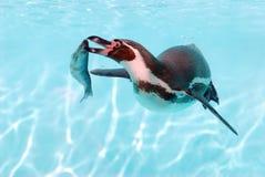 Pingüino y pescados de Humboldt Imagenes de archivo