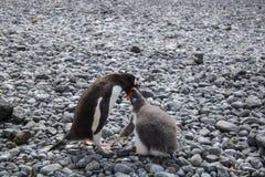 Pingüino y polluelo de Gentoo en la Antártida Imagen de archivo libre de regalías