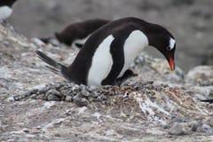 Pingüino y polluelo de Gentoo de la jerarquización Fotografía de archivo