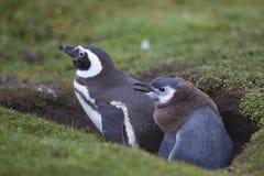 Pingüino y polluelo de Magellanic en Falkland Islands Foto de archivo