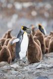 Pingüino y polluelo de rey en Georgia del sur, la Antártida Fotografía de archivo