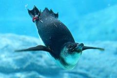 Pingüino y Sydney Aquarium Foto de archivo