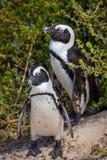 Pingüinos fotos de archivo