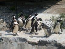 pingüinos Fotos de archivo libres de regalías