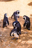 pingüinos Foto de archivo