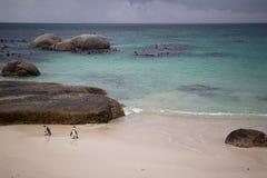 ¡Pingüinos! Foto de archivo