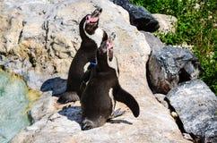 pingüinos Fotografía de archivo