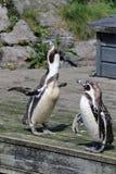 Pingüinos africanos Fotografía de archivo