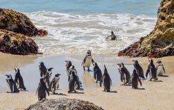 Pingüinos africanos Fotos de archivo