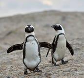 Pingüinos africanos Fotografía de archivo libre de regalías