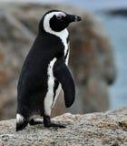 Pingüinos africanos Foto de archivo libre de regalías